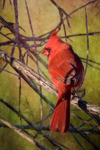 Cardinal 02 WS.jpg