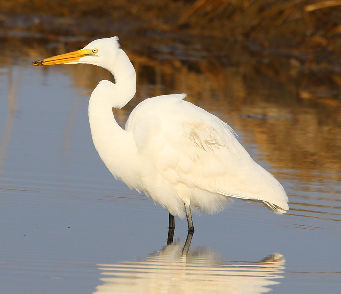 great white egret with bug.jpg