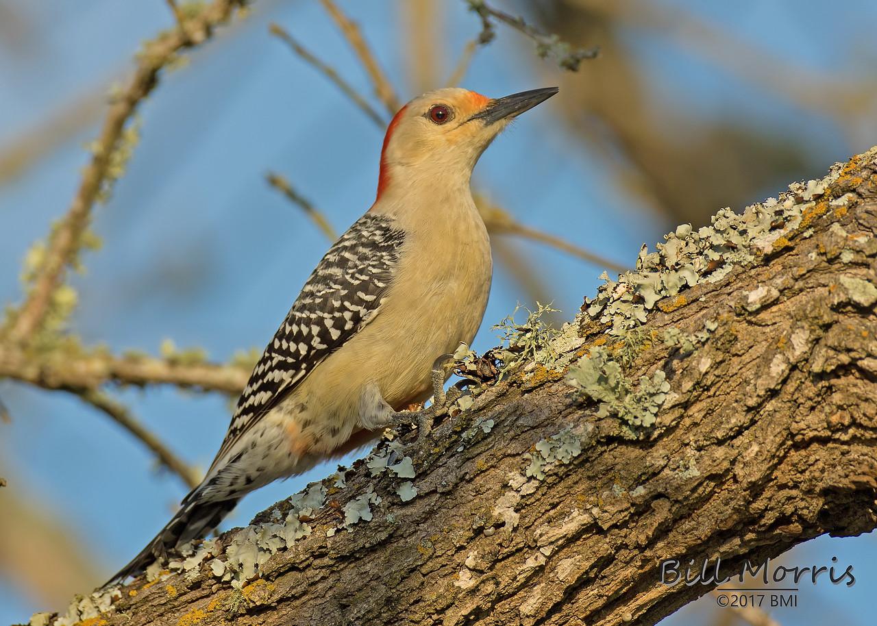 IMAGE: https://photos.smugmug.com/Woodpeckers/i-xsBWqrw/0/X2/Red-bellied%20woodpecker%202_5_2017-11-X2.jpg