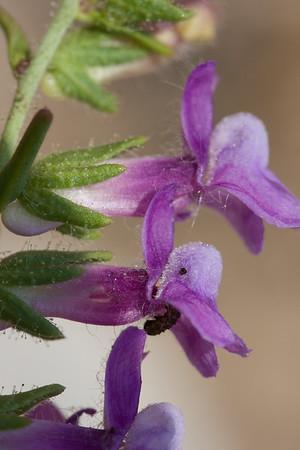 Antirrhinum vexillocalyculatum ssp. vexillo., C0459 568 586 816 945 946 947