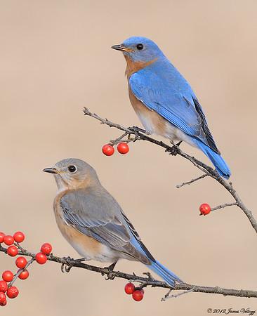 New York State Bird, Eastern Bluebird, Sialia sialis