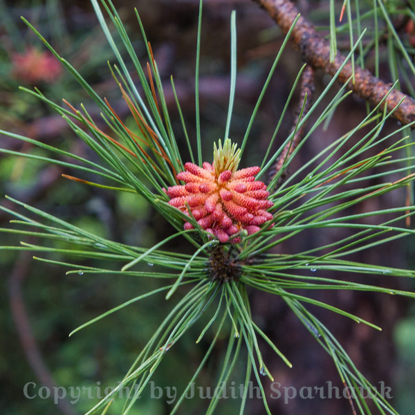 The Pine Bouquet