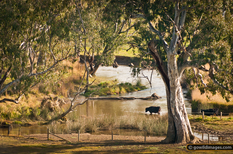 Cattle wade in the river under the red gums. Close to the Yea River at Killingworth.