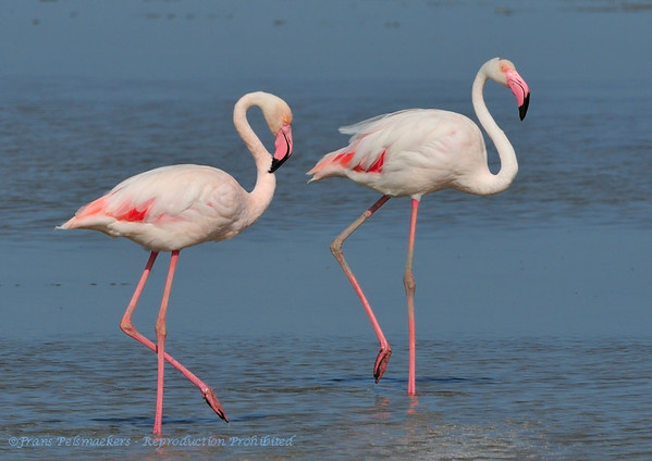 Flamingo; Phoenicopterus ruber; Flamingo; Greater Flamingo; Flamant rose