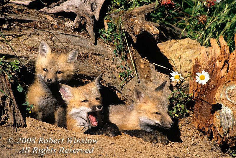 Fox - Red