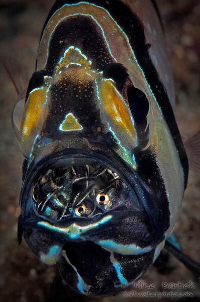Banggai cardinal fish brooding its fry