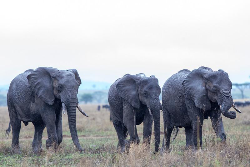Serengeti_12_2013_Elephant_girls_FH0T8578.jpg