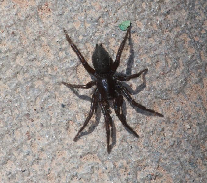 Gnaphosid spider Skogstjarna Carlton Co MN IMG_0040785.jpg