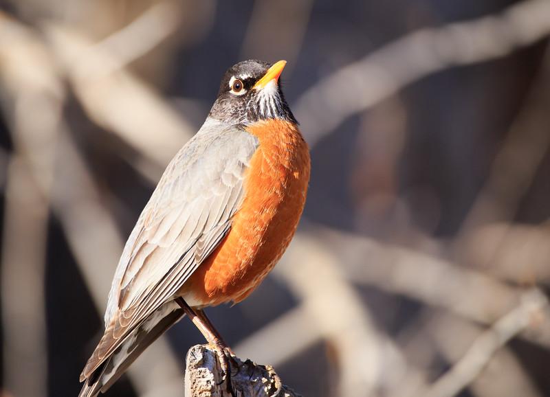 Robin (Turdus migratorius)