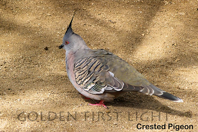 Crested Pigeon, Australia