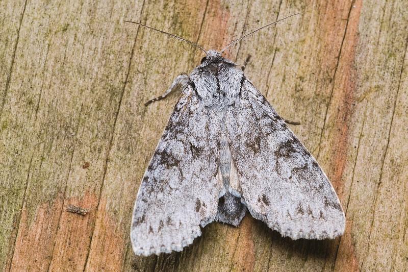 Piney Moth