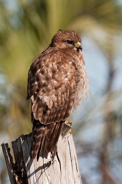 Hawk - Red-shouldered - St. Marks NWR - FL