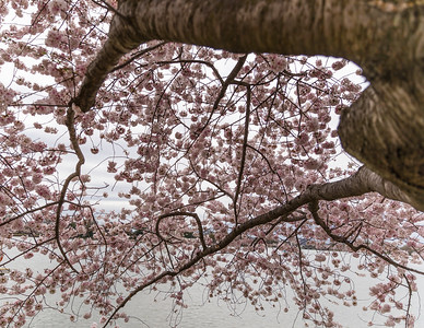 CherryBlossom2017