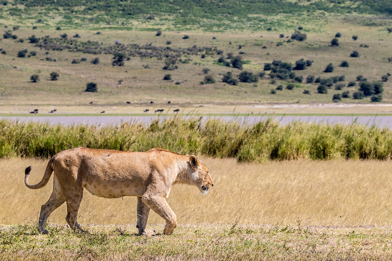 Pacing Lioness