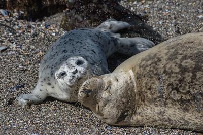 April 2016 Seal Pups