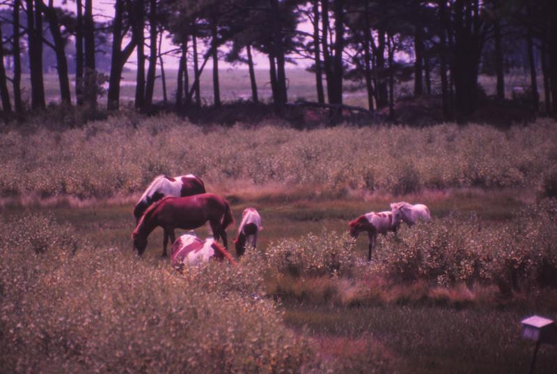 Chincoteague 1981-07 021.jpg