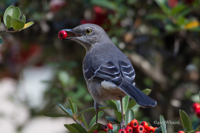 Mockingbird and Berry.jpg