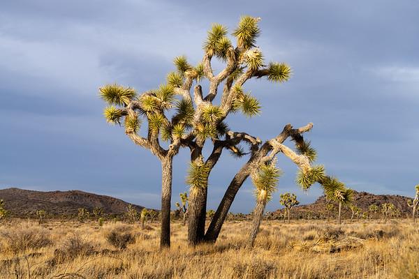 Joshua Tree, Apr 2021