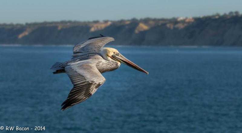 La Jolla Pelican - Torrey Pines.jpg