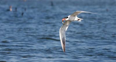 2014 Caspian Terns, Burlington