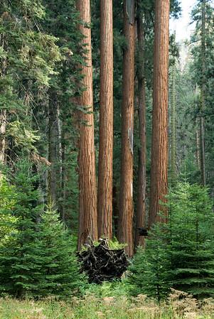 17. Sequoia en Kings Canyon