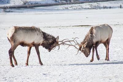 National Elk Refuge, Winter 2017