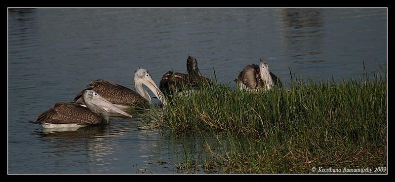 Spot Billed Pelicans, Kukkarahalli Lake, Mysore, Karnataka, India, 2009