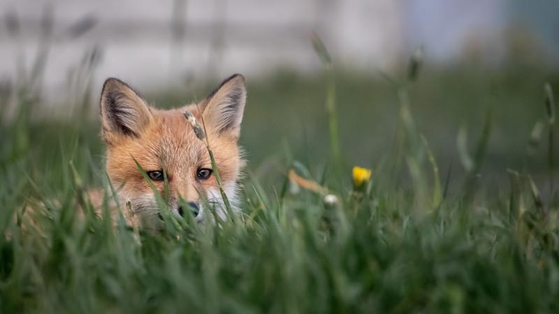 Fox kit in the grass-2184.jpg