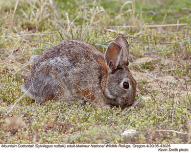 MountainCottontail43026.jpg