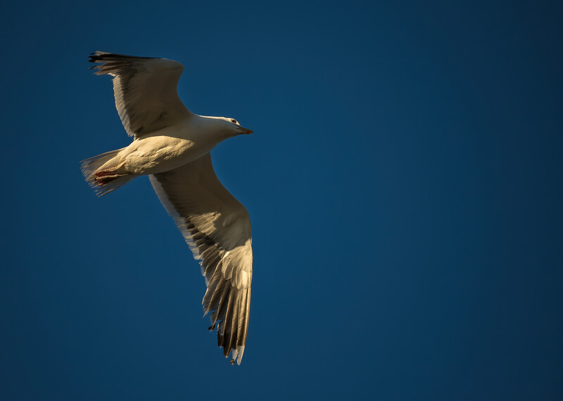 Seagull-009
