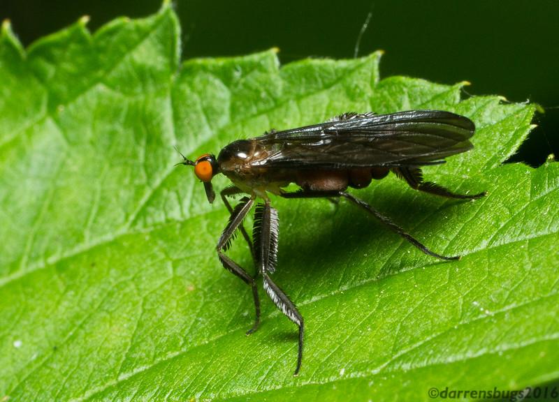 Long-tailed Dance Fly - Empididae: Rhamphomyia longicauda (Iowa, USA).