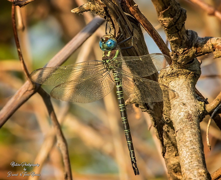 Swamp Darner Cedar Bog 7DM2_0007470_May-17-2017_f16_s400_i1600_.jpg
