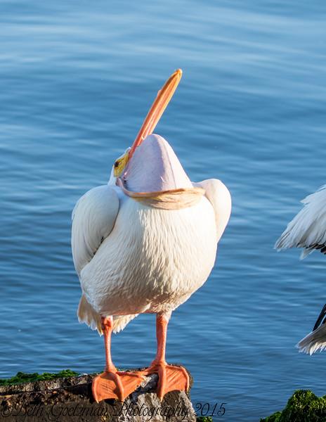 White Pelicans - Galviston Island 2015