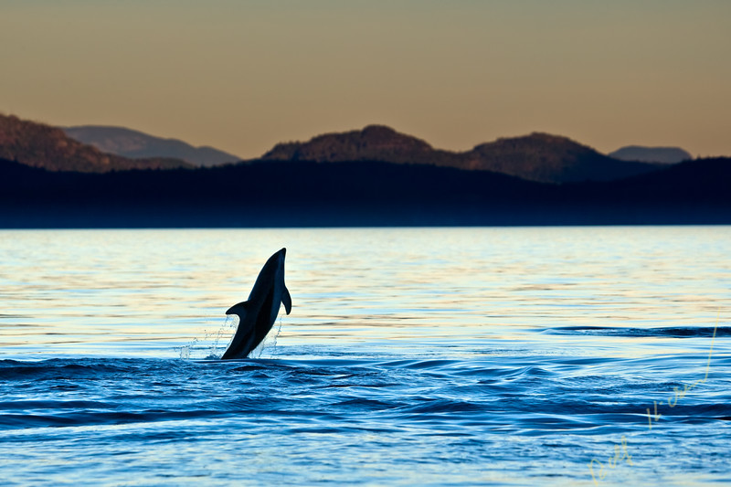 Pacific White Sided Dolphins in Johnstone Strait off Northern Vancouver Island, British Columbia, Canada. Lagenorhynchus obliqui