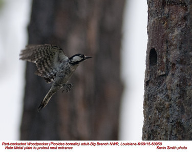 Red-cockaded Woodpecker A60950.jpg