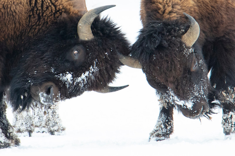 387A9958 Two bison sparring closest.jpg
