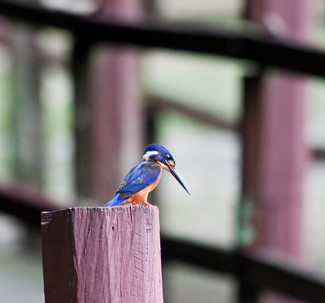 Kingfisher in the garden of Sabah Museum