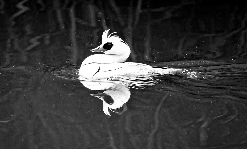 The Male Smew
