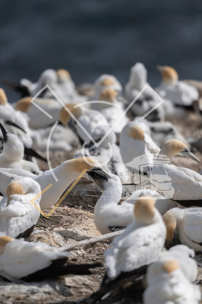 adult australasian gannet feeding its chick on the nest, in the last light of the day in the Muriwai colony