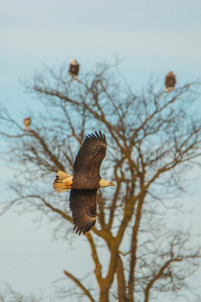 12.22.20 - Madison County: Bald Eagles