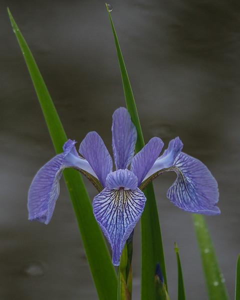 Northern/Larger Blue Flag Irus - Iris versicolor