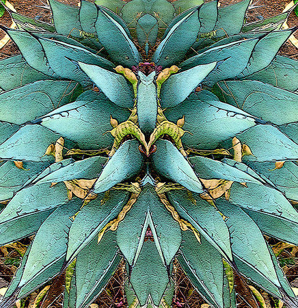 Front Yard Agaves and Mesquite Pods