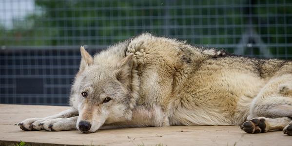 Wolves 17 May 2015