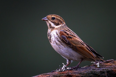 Sivspurv (Common reed bunting)