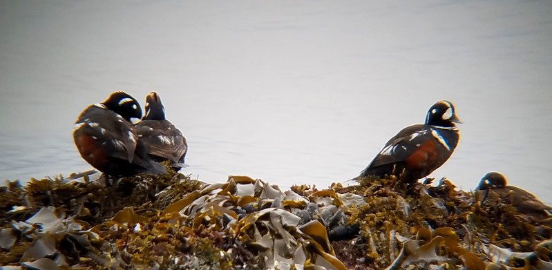 Harlequin Ducks on Kelp.jpg