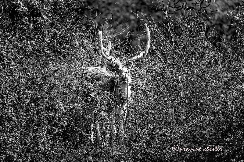 Deer in the Bush