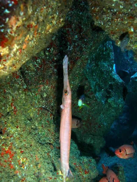 Trumpet fish hanging in Kauai cave