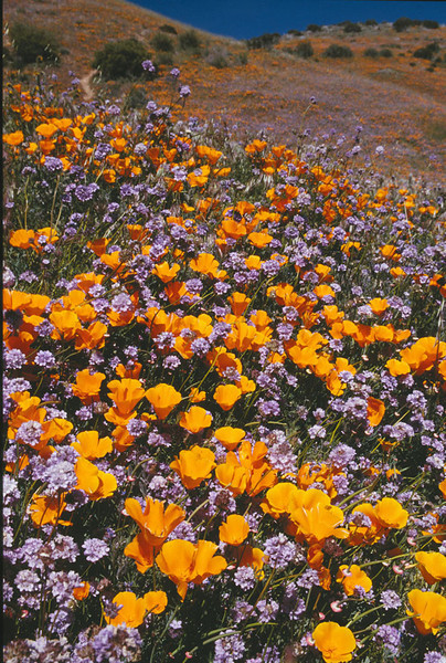 Poppies on hillside, California