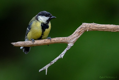 Kjøttmeis (Great Tit)