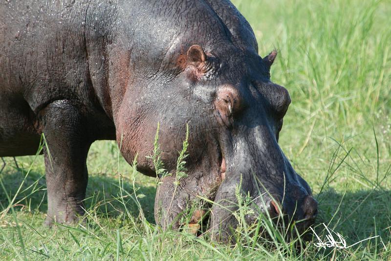 Hippos S-13.jpg